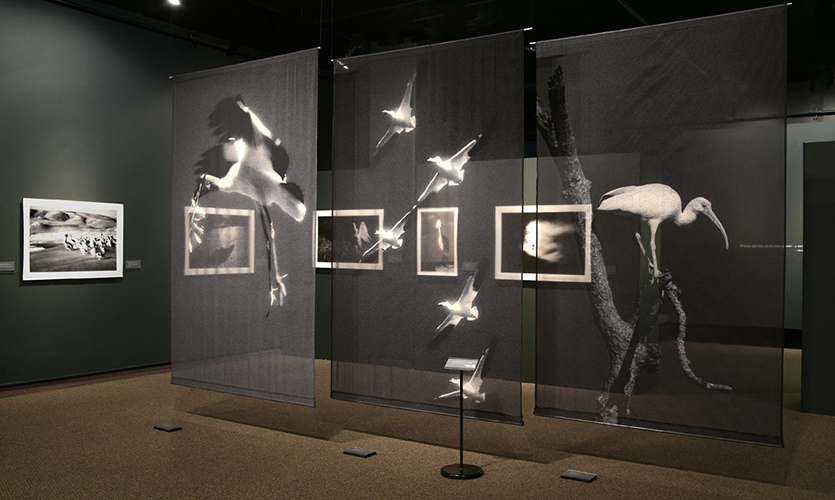 Chiffon Banners, Wild Birds of the American Wetlands, Utah Museum of Natural History, UMNH Exhibits Department