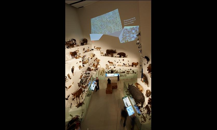 Exhibit Floor, Wild: Amazing Animals in a Changing World, Melbourne Museum, MV Studios, Museum Victoria