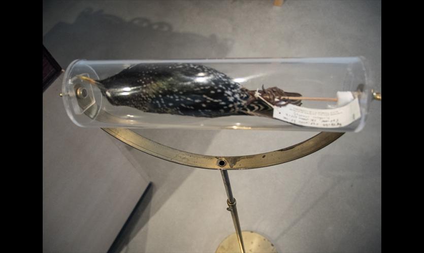Figure 23. Starling Specimen on Stand