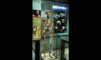 Skeleton Case, Hall of Human Origins, American Museum of Natural History