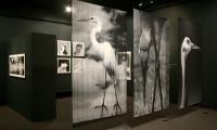 Photographs, Wild Birds of the American Wetlands, Utah Museum of Natural History, UMNH Exhibits Department